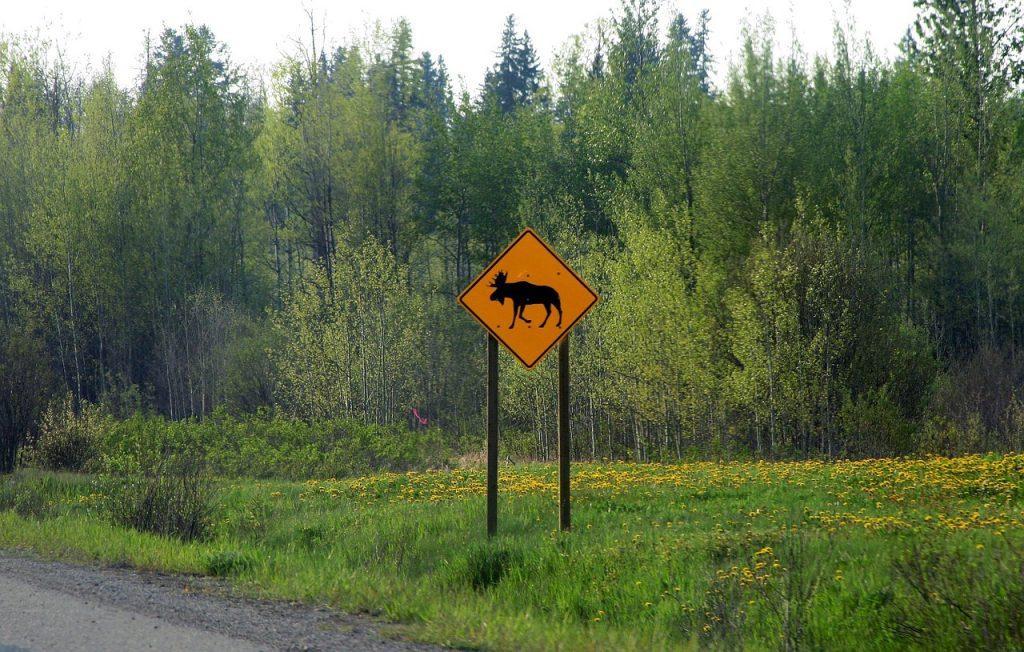 eland gevaar in het verkeer