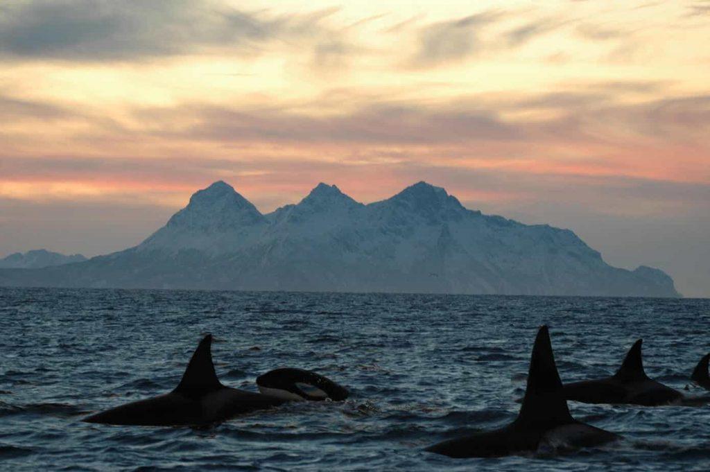 orca's in het water