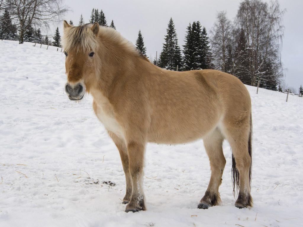 Fjordenpaard uit Noorwegen